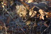Junger Cheetah /Gepard