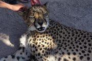 Cheetah hautnah auf der Otjitotongwe Cheetah Farm bei Kamanjab