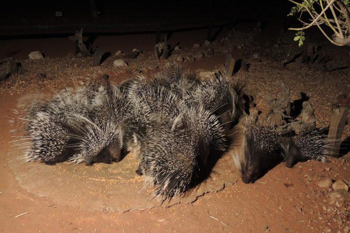 Stachelschweine auf dem Porcupine Camp