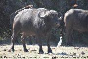 Büffel im Caprivi