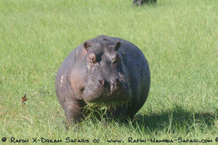 Hippo im Chobe Nationalpark - Botswana