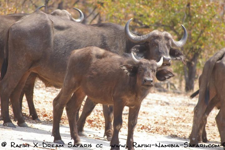 Büffel im Bwabwata Nationalpark - Namibia