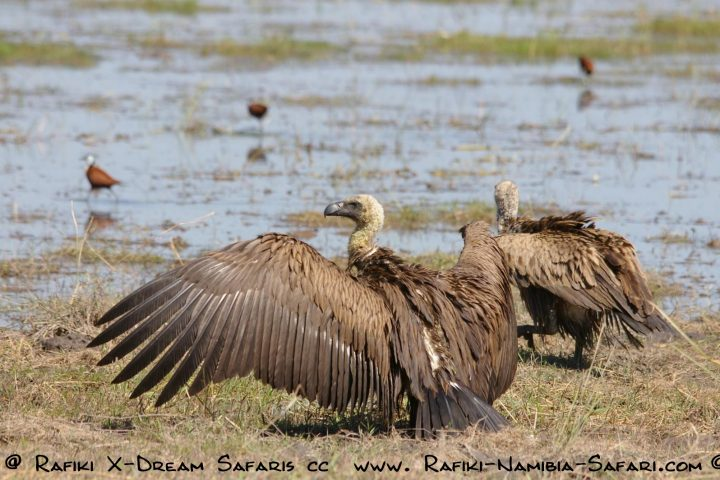 Geier im Bwabwata Nationalpark - Namibia