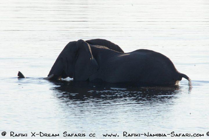 Elefant im Kwandofluss - Namibia