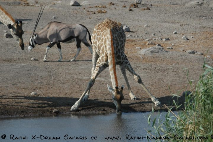 Giraffe am Wasserloch - Etosha Nationalpark