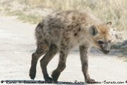 Etosha Nationalpark- Tüpfelhyäne