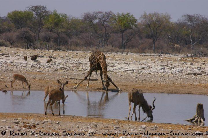 Wasserloch im Etosha Nationalpark -Giraffe und Kudus