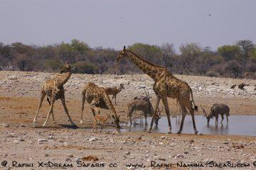 Giraffen, Kudus am Wasserloch