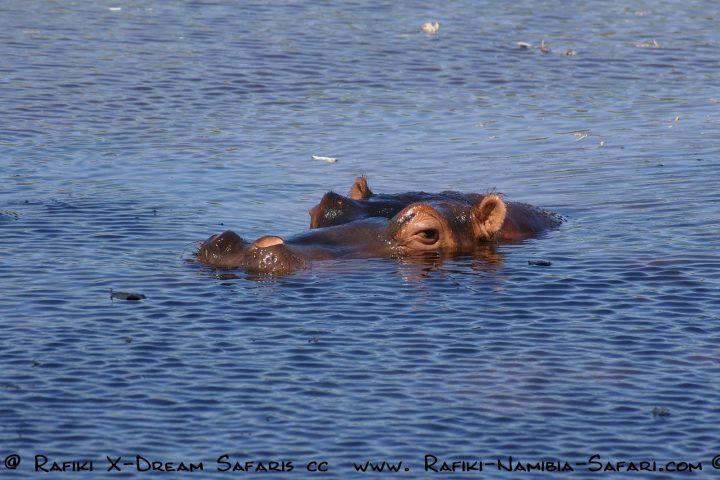 Kavango Namibia -Hippo