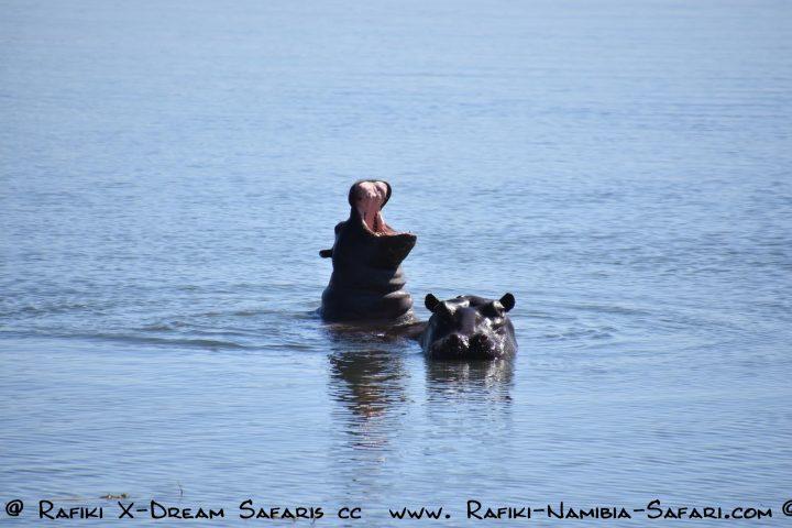 Hippos im Kwando - Namibia