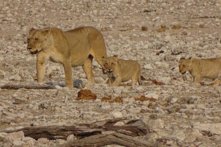 Löwen in der Etosha