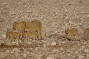 Löwenfamilie im Etosha Nationalpark