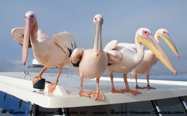 Pelikane bei Bootstour in Walvis Bay