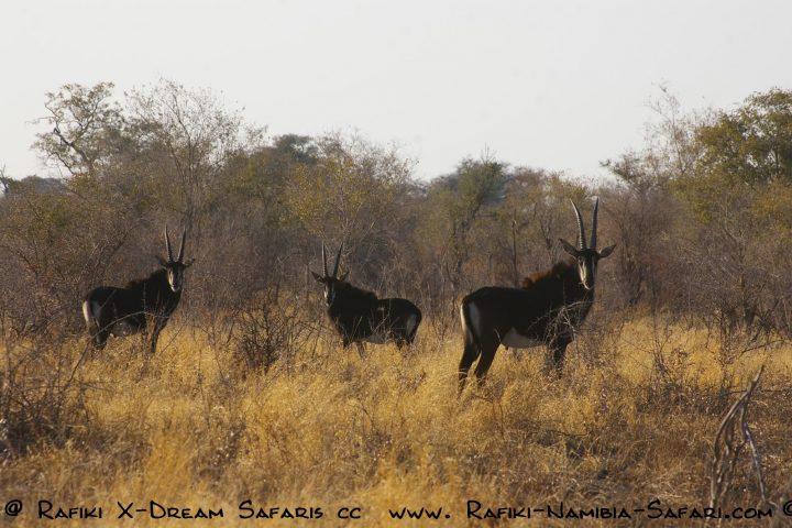 Säbelantilopen im Buffalo Park - Namibia