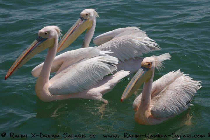 Pelikane in der Lagune von Walvis Bay - Namibia