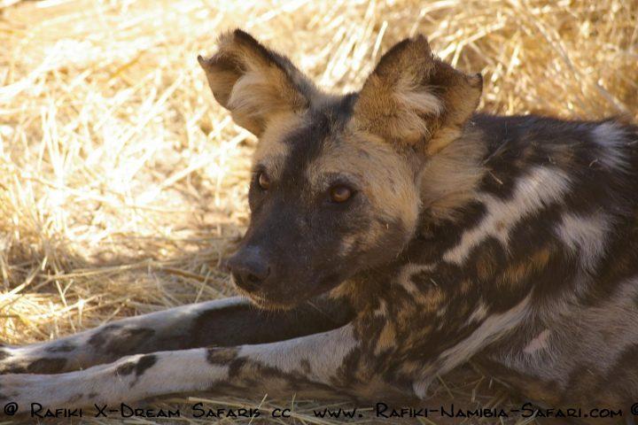 Wilddog im Caprivi - Namibia