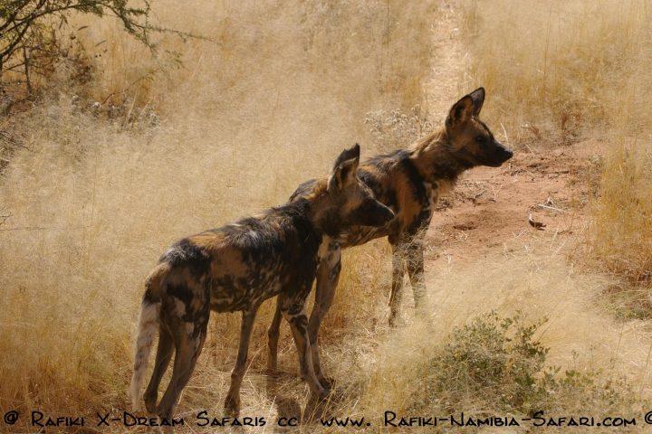 Wilddogs im Caprivi