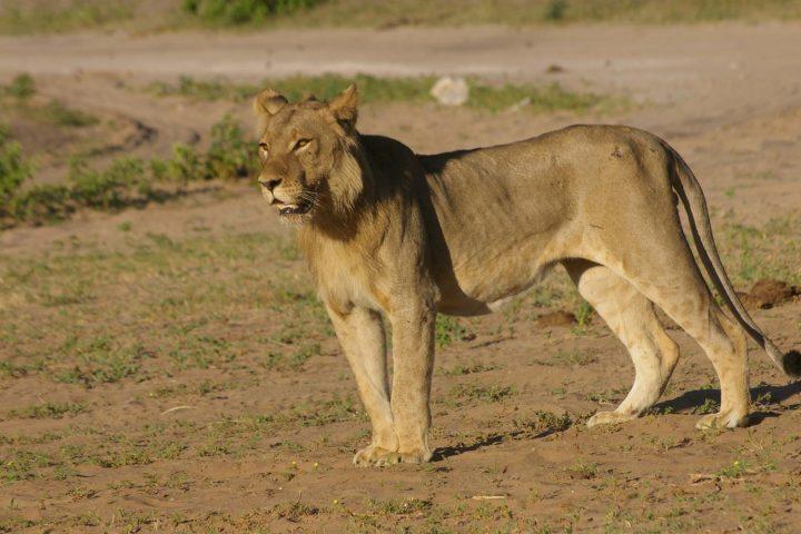 Löwe im Chobe Nationalpark - Botswana