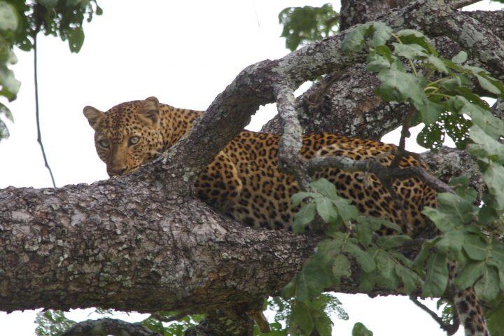 Leopard im South Luangwa Park - Sambi