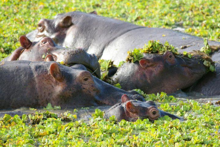 Hippos im South Luangwa Nationalpark - Sambia