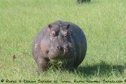 gefrässiges Hippo im Chobe Nationalpark