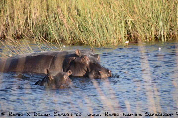 Hippos im Chobe Nationalpark - Botswana