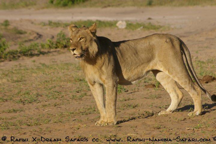 Löwe im Chobe Natonalpark - Botswana