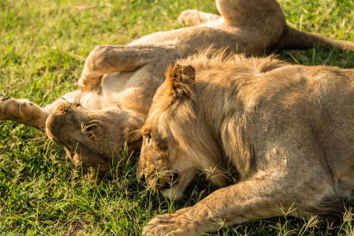 Löwen beim Spielen im Chobe Nationalpark