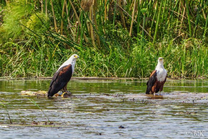 Fischadler im Okavango Delta