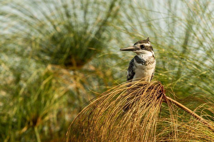 Kingfisher Okavango Delta - Botswana