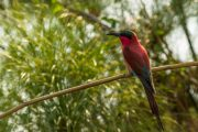 bee eater - Okvango Delta - Botswana