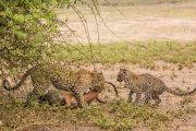 Leoparden im Chobe Nationalpark