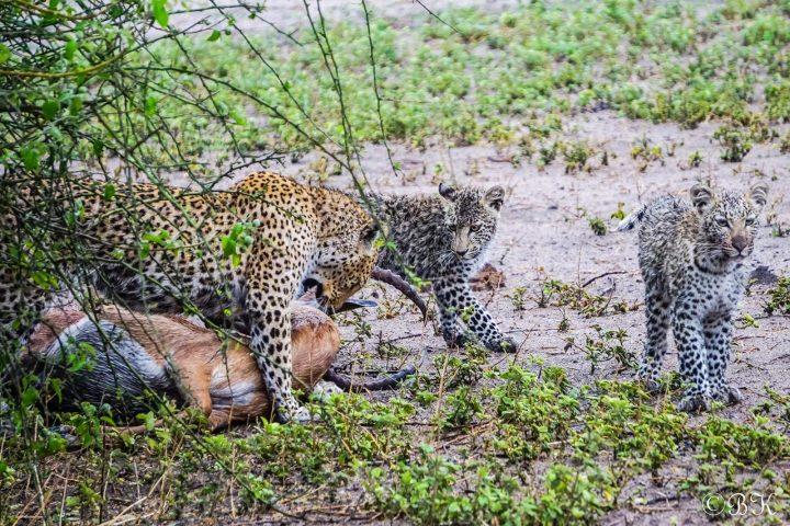 Leopard mit Jungen im Chobe Nationalpark - Botswana