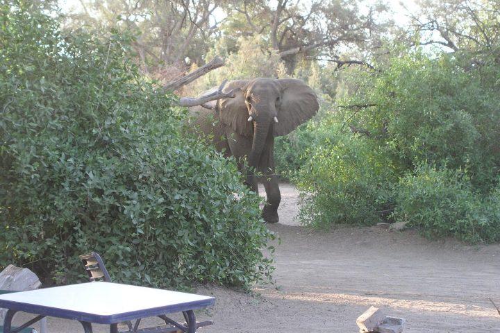 Elefant auf der Campsite in Puros