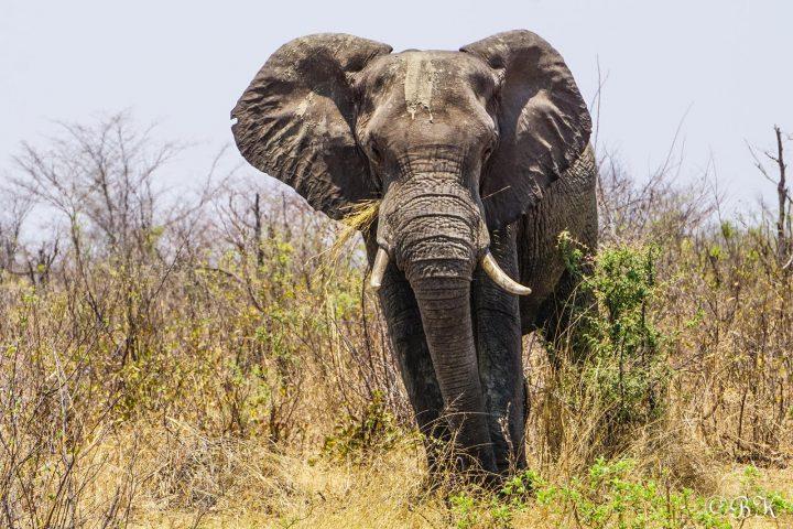 Elefant im Caprivi
