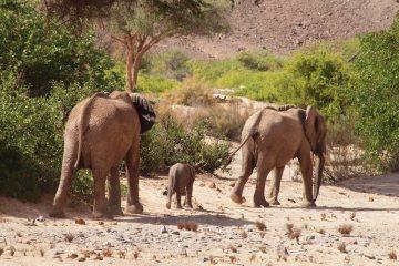 Wüstenelefanten im Kaokoveld -Namibi
