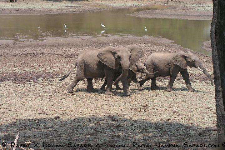 Elefanten in Habachtstellung im South Luangwa Park - Sambi