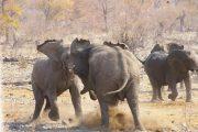 Kämpfende Elefanten im Etosha Nationalpark - Namibia