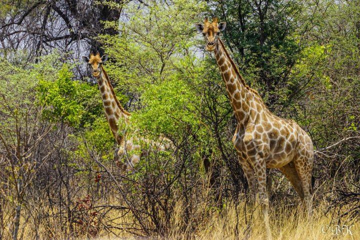 Giraffen im Caprivi