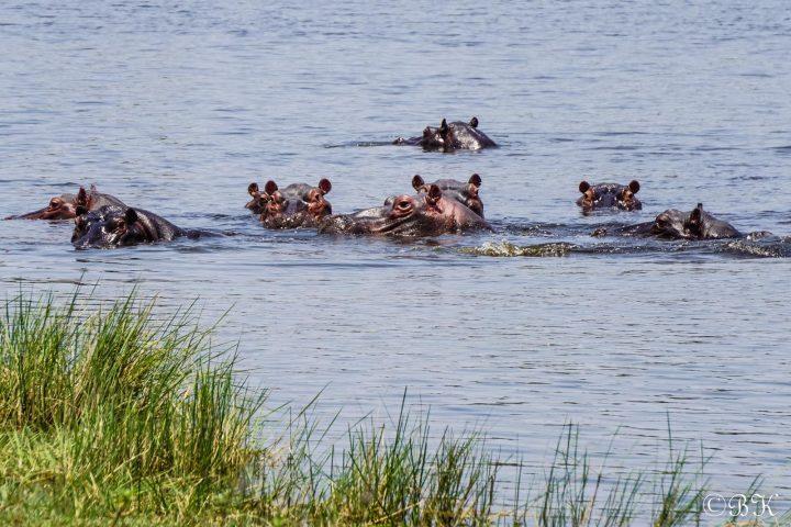 Hippos im Caprivi
