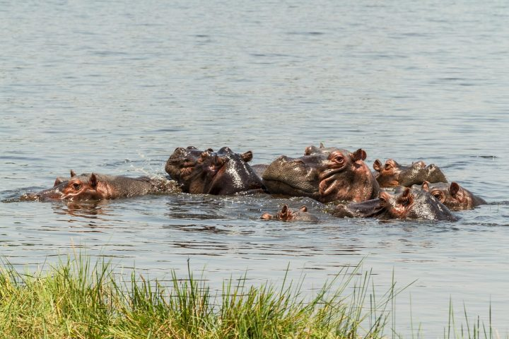 Hippos im Mahango Nationalpark - Namibi