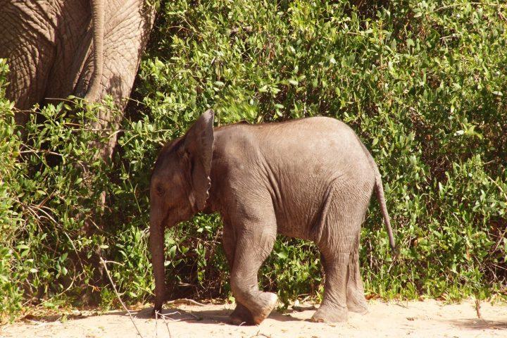 Elefanten Baby im Hoanib im Kaokoveld