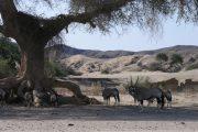Oryx im Hoanib Flussbett im Kaokoveld