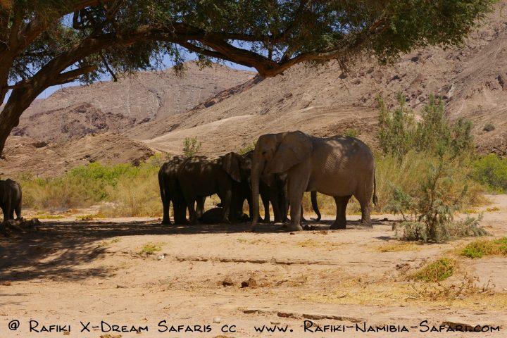 eine Gruppe Wüstenelefanten im Hoanib