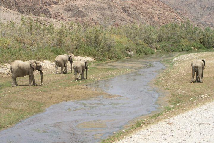 Wüstenelefanten im Hoarusib