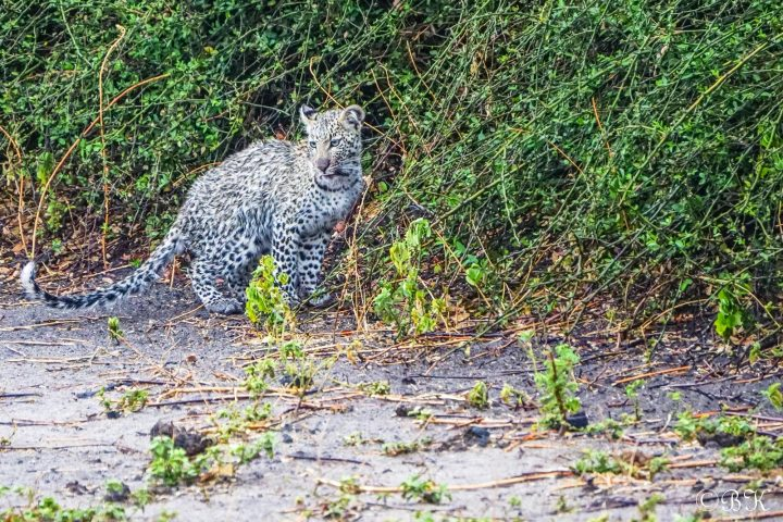 Junger Leopard im Chobe Nationalpark - Botswana