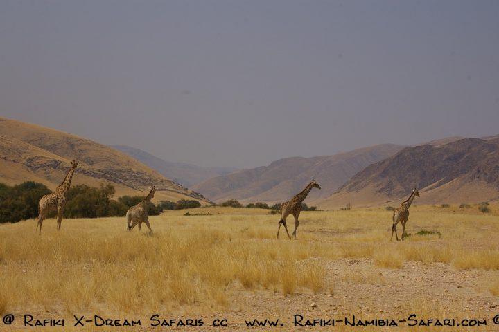 eine Gruppe Giraffen im Kaokoveld
