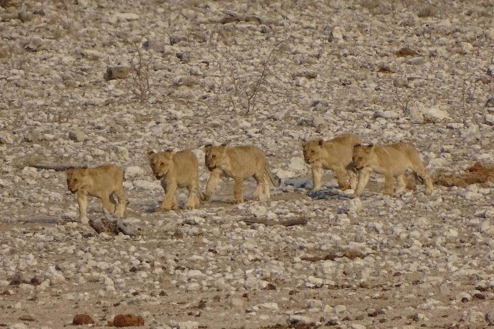 junge Löwen im Kgalagadi Transfrontier Park
