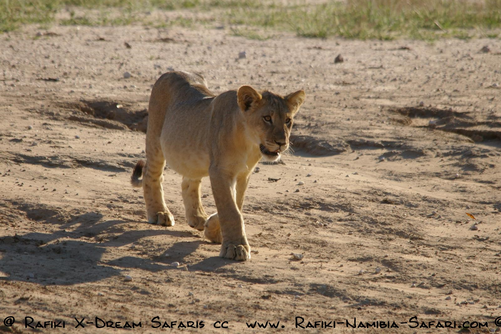 Junger Löwe im Kgalagadi Transfrontier Park - Südafrika