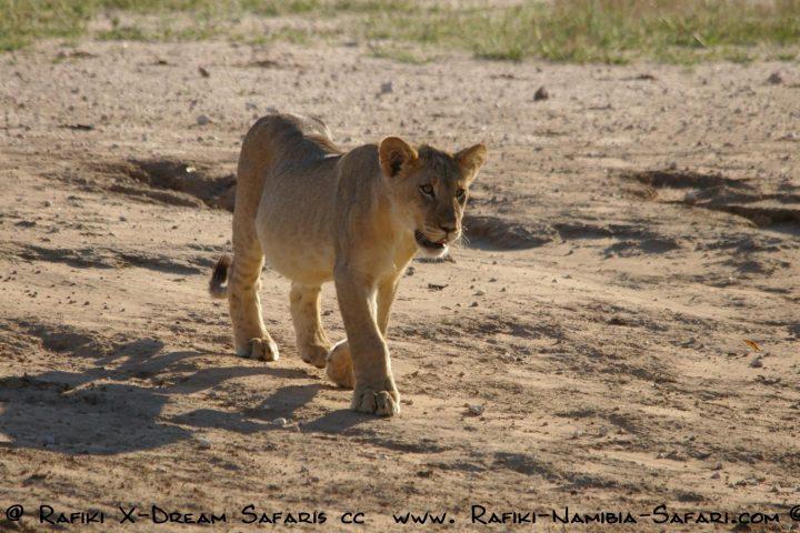 junger Löwe im Kgalagadi Transfrontier Park